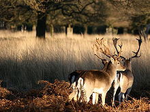 220px-Two_deer_at_Richmond_Park,_London