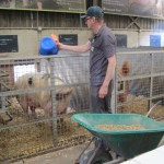 Glos sow, Wimpole Home Farm