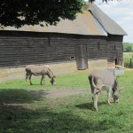 Donkeys from Provence, Wimpole Home Farm